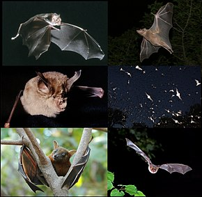 Différentes espèces (wikipedia)